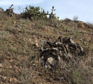 Burnt cactus, Vista del Mar Trail